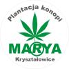 Plantacja Konopi Marya Kryształowice