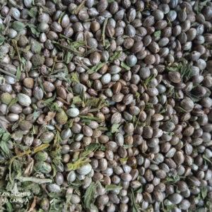 Ziarno-z-konopi Cannabis Sativa nasiona konopia